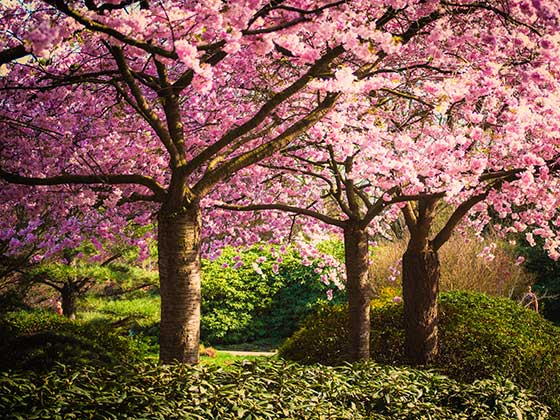 Memorial Trees with pink blossom